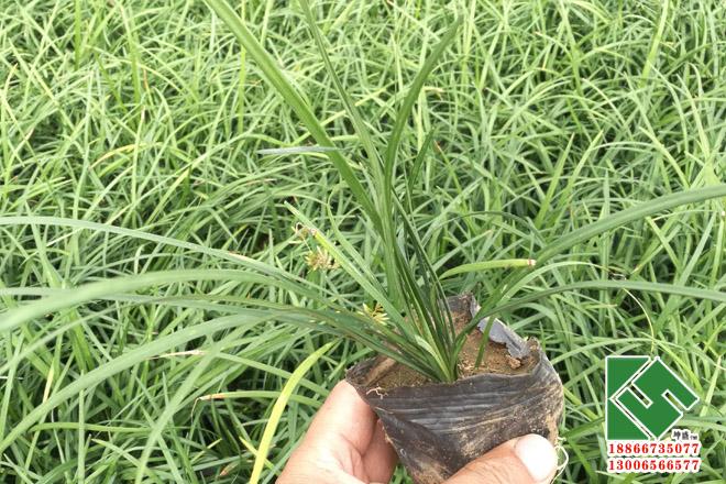 麦冬营养钵苗