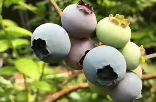 高檔藍莓.jpg