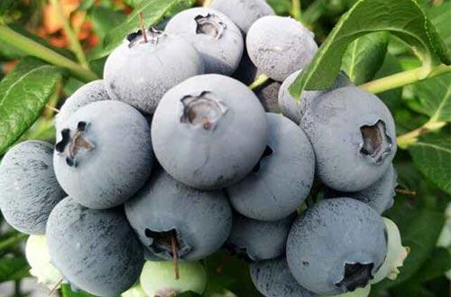 新鮮藍莓.jpg