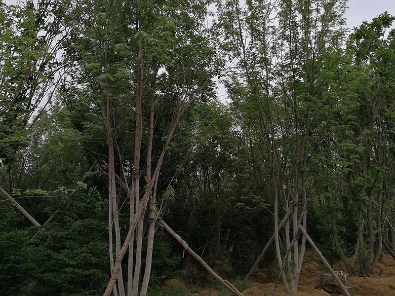 丛生美国红枫