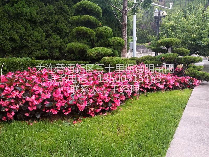 大花海棠|花圃产品-大连普湾新区三十里堡德明苗圃