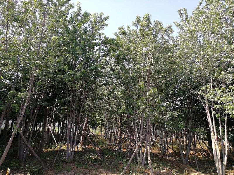 丛生美国红枫基地