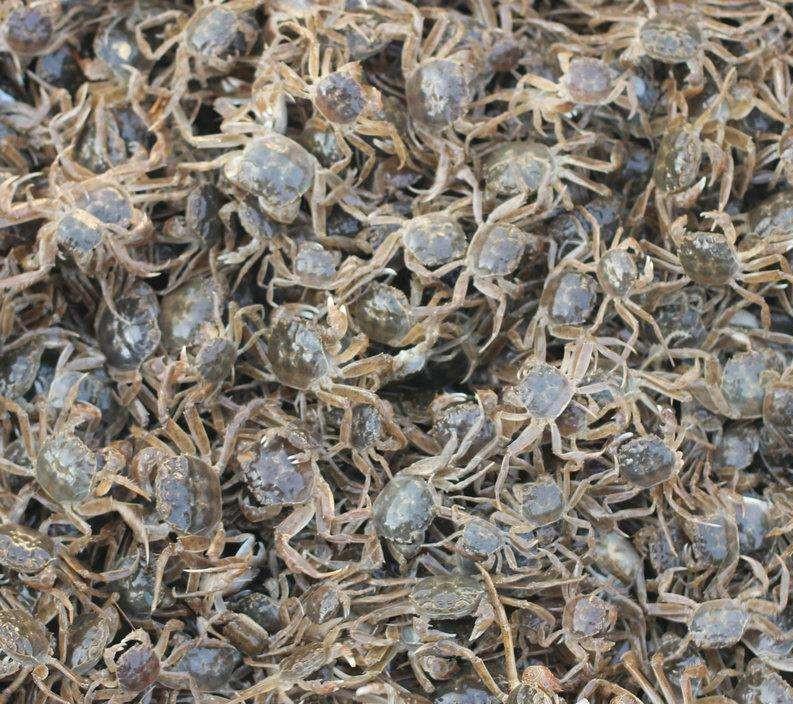 盘锦河蟹苗