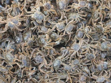 盤錦河蟹苗