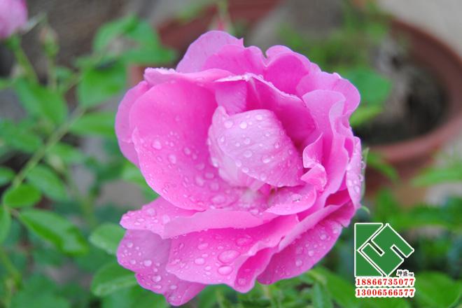四季玫瑰|绿化苗木-青州市坤盛花卉苗木有限公司