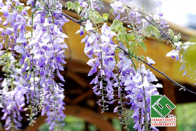 紫藤|绿化苗木-青州市坤盛花卉苗木有限公司