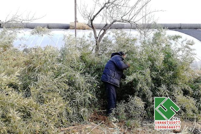 绿化竹子 绿化苗木-青州市坤盛花卉苗木有限公司
