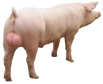 长白公猪.jpg