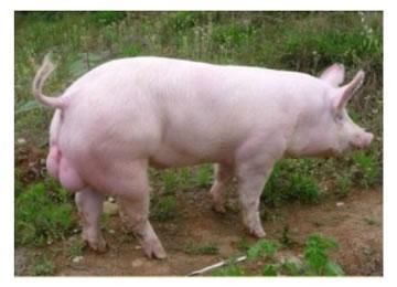 大约克公猪.jpg