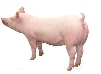 大约克母猪.jpg