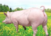 二元母猪.jpg