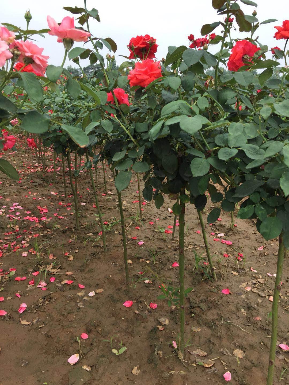 最新树状月季 月季树价格_图片_产地报价表早知道|月季栽培种植-南阳天润月季有限公司