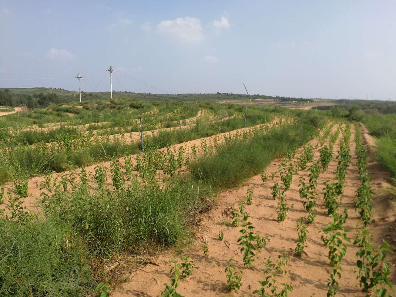 神華神東煤炭集團有限責任公司生態經濟林試驗示範工程|工程案例-陝西成 年 人 视频app免费環境治理工程有限公司