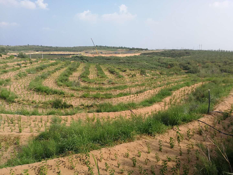 神華神東煤炭集團有限責任公司生態經濟林試驗示範工程順利交付 新聞資訊-陝西成 年 人 视频app免费環境治理工程有限公司
