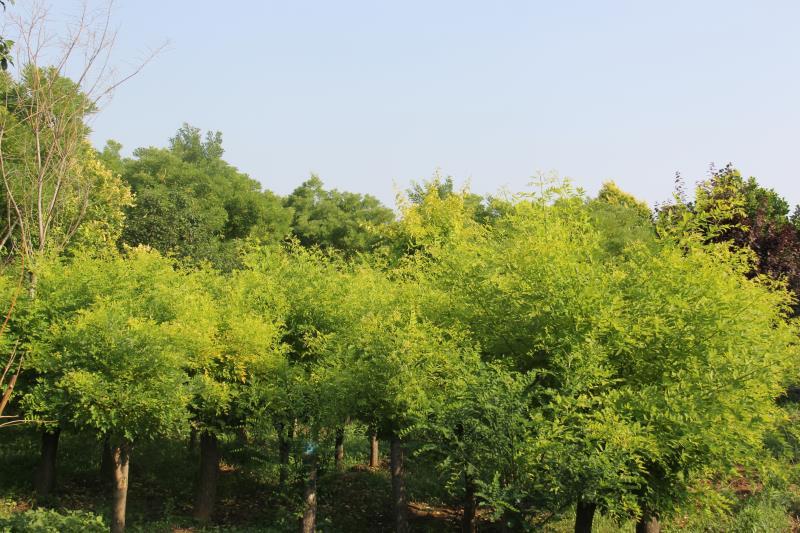 矮杆黄金槐