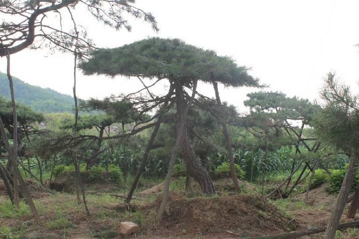 造型松树.jpg