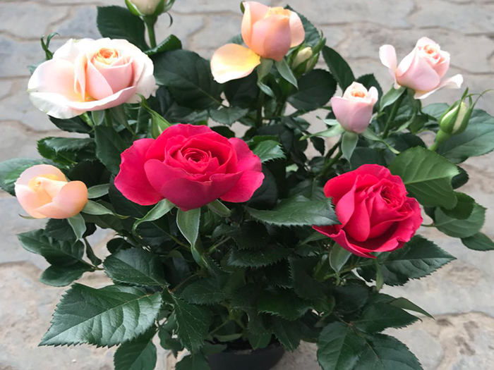小玫瑰.jpg