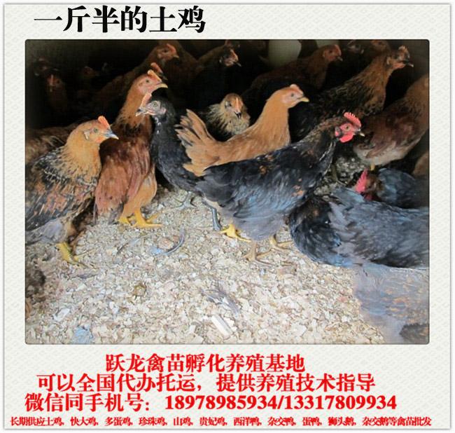一斤半的土鸡.jpg