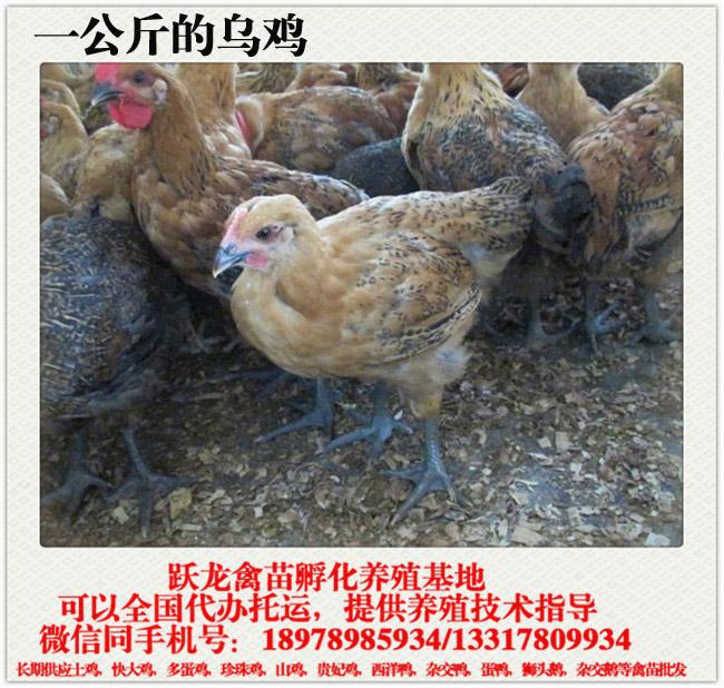一斤多的乌骨鸡.jpg