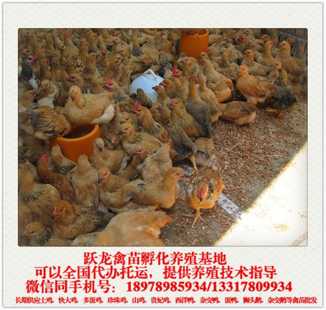 K99童鸡.jpg