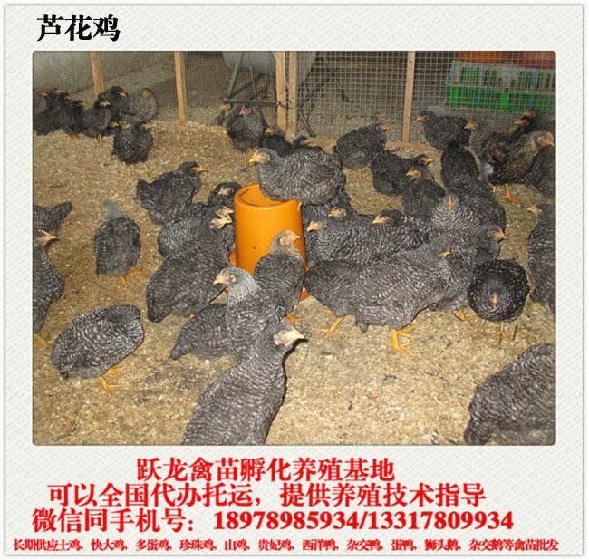 芦花鸡.jpg