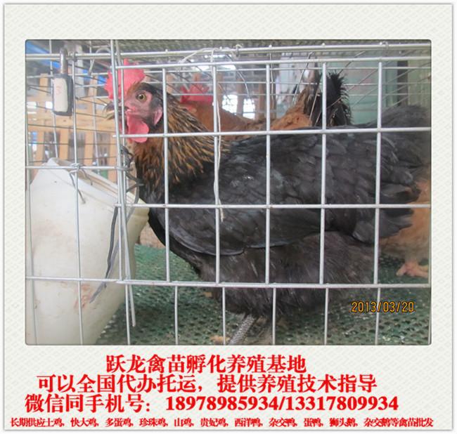 黑土母鸡.jpg
