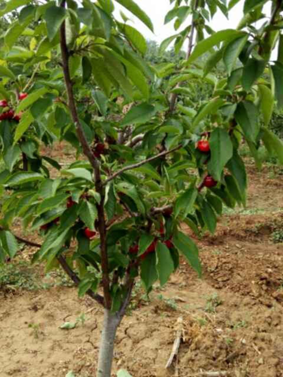 五年定植结果|单页-烟台张格庄大樱桃苗木繁育基地