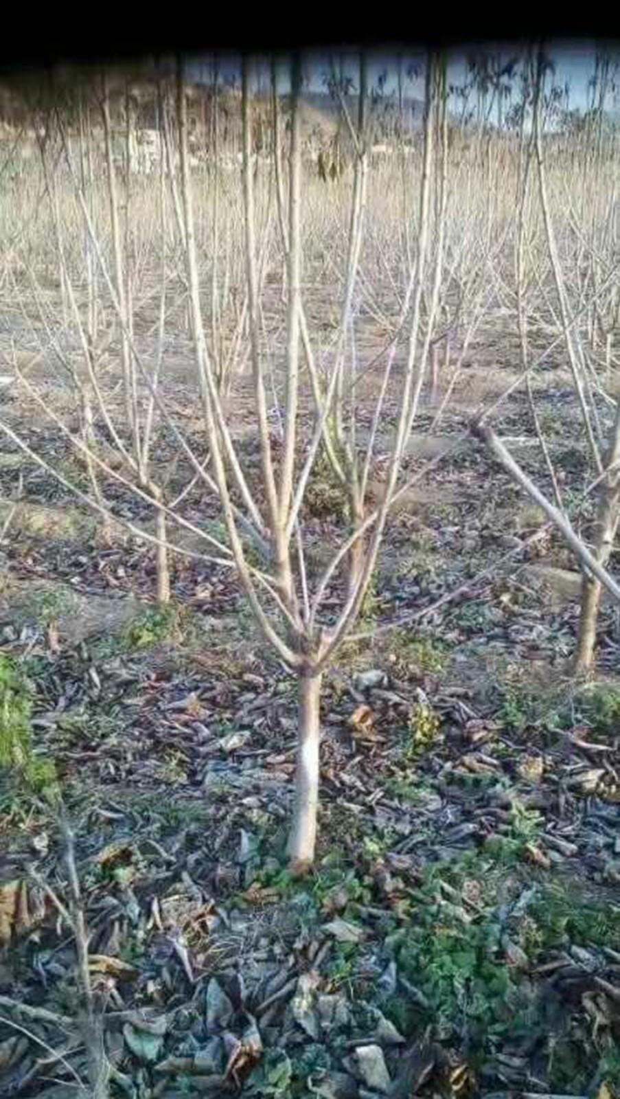 五年苗|单页-烟台张格庄大樱桃苗木繁育基地