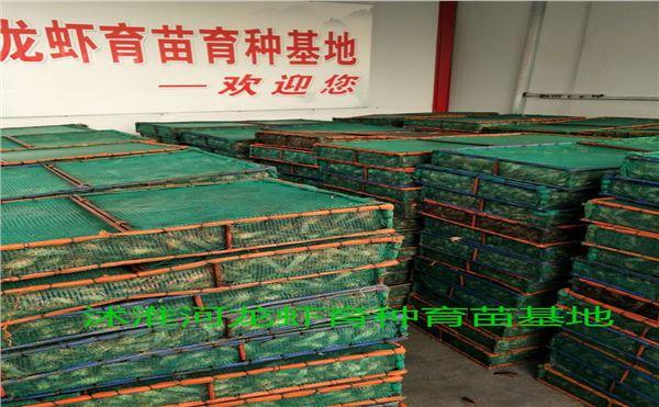龙虾种苗|龙虾种苗-南京市江宁区千耀农产品经营部