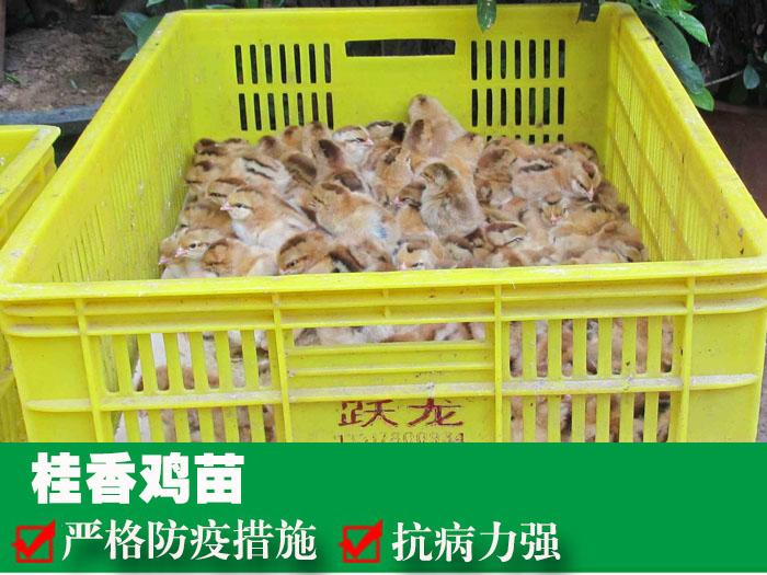 桂香鸡苗1.jpg