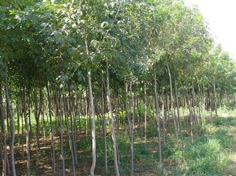 山东柿子树