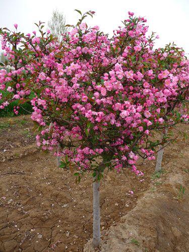 6公分垂丝海棠树