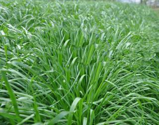 山东牧草种子