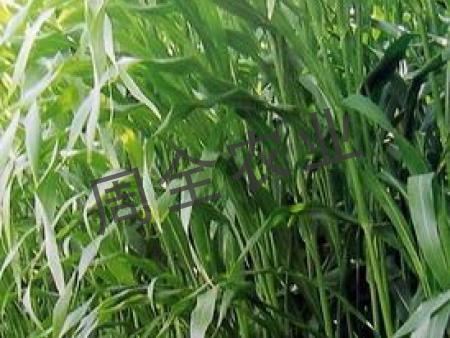 墨西哥玉米