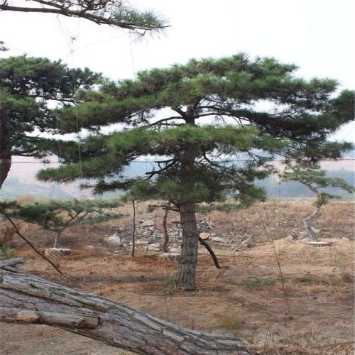 必威betway|体育投注松树