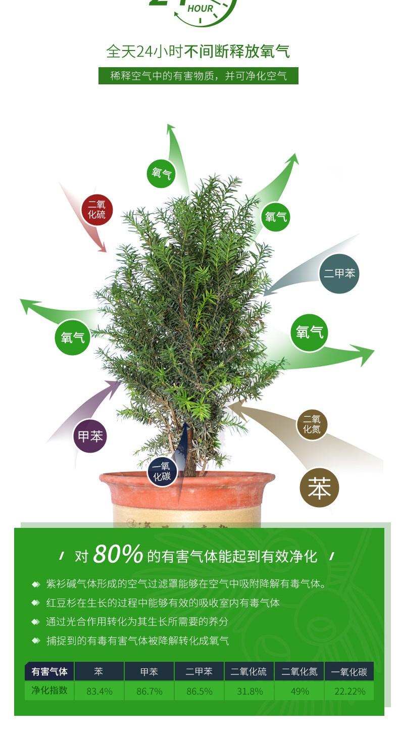 黑格斯紅豆杉3年生種苗(10000株起售)|盆景苗木系列-陜西省天行健生物工程股份有限公司
