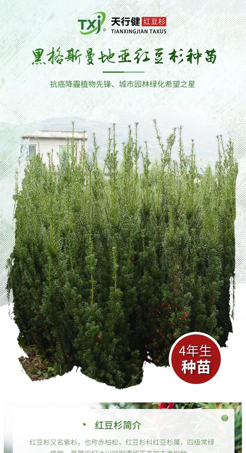 黑格斯红豆杉4年生种苗(10000株起售)|盆景苗木系列-金沙国际娱城官网