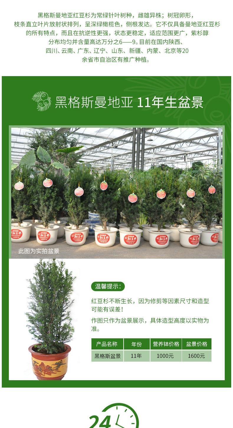 黑格斯曼地亚红豆杉11年盆景|盆景苗木系列-陕西省天行健生物工程股份有限公司