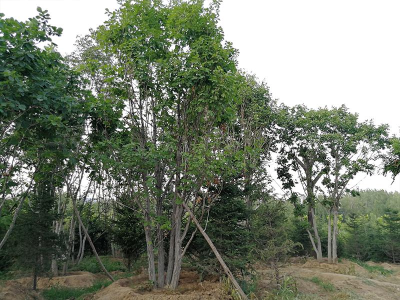 丛生蒙古栎