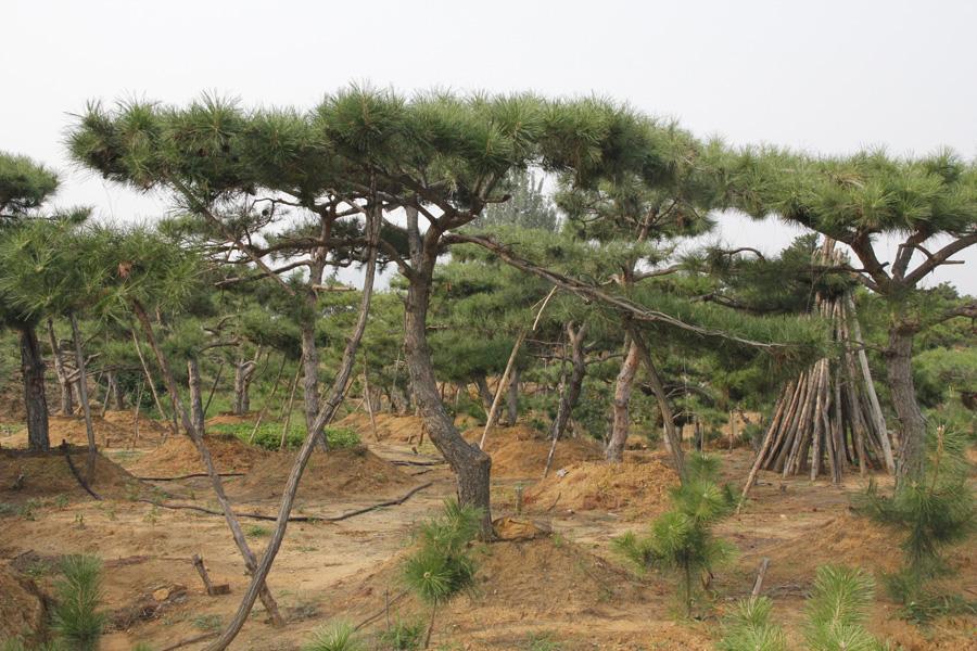 造型油松|造型油松-山东万亩造型景观松基地