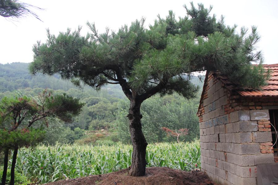 造型景观松|景观松-山东万亩造型景观松基地