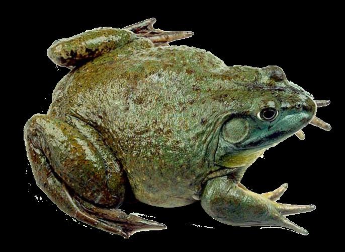 牛蛙.png