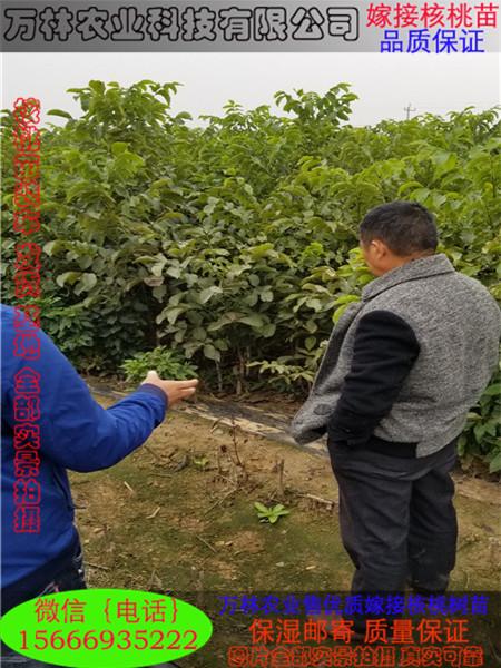 8518核桃苗|核桃苗-泰安市岱岳区满庄镇万林苗圃