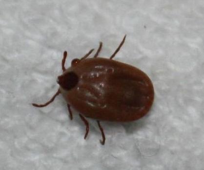 钝缘软蜱111.jpg