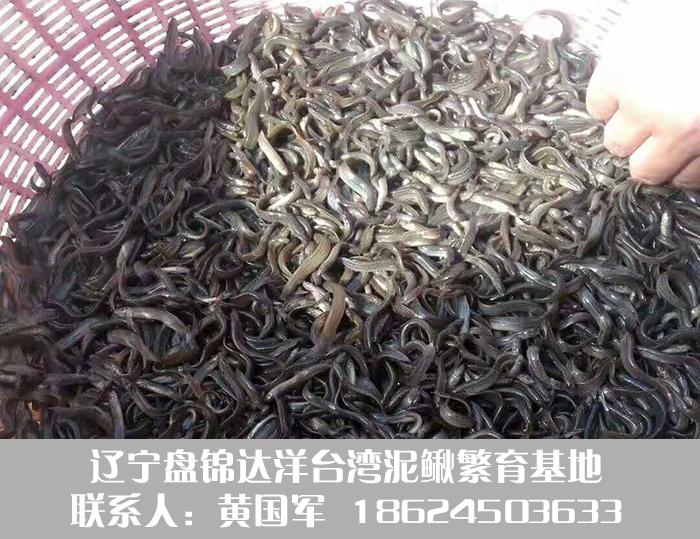 台湾泥鳅寸苗