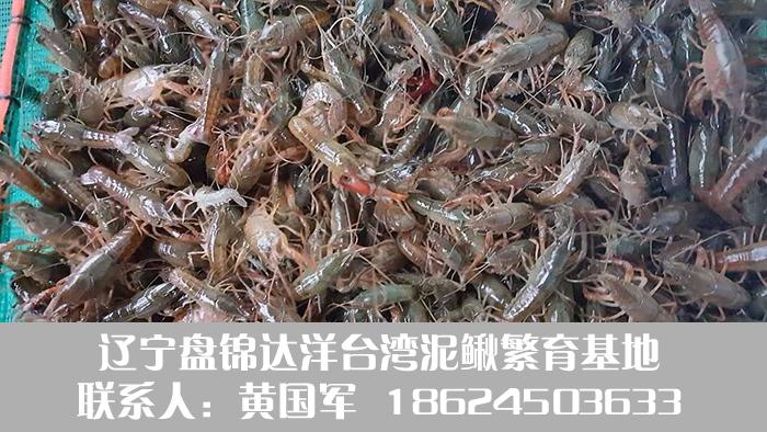 盘锦小龙虾种苗