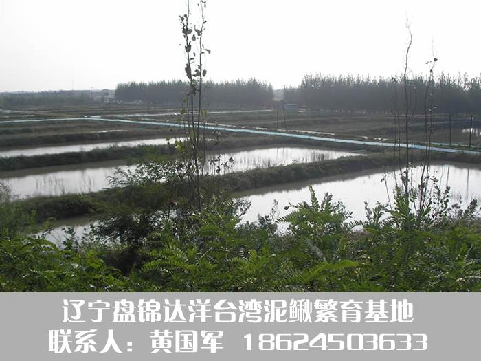 盘锦泥鳅鱼养殖