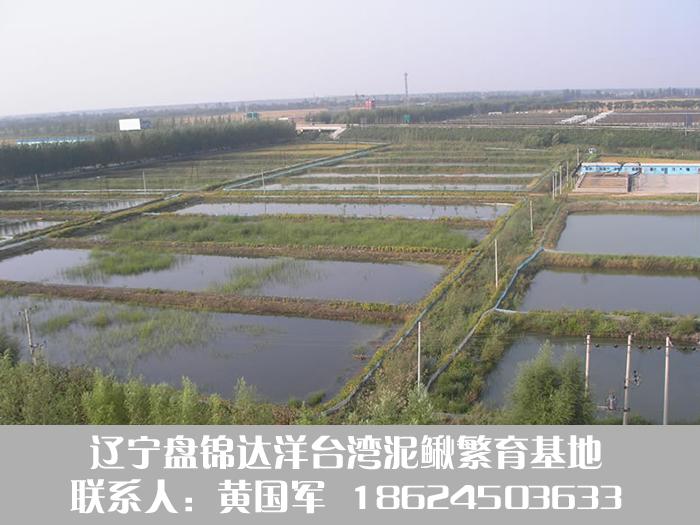 盘锦泥鳅养殖