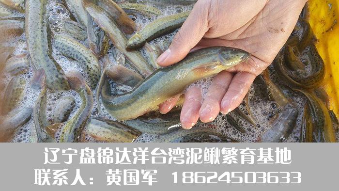 盘锦泥鳅11.jpg
