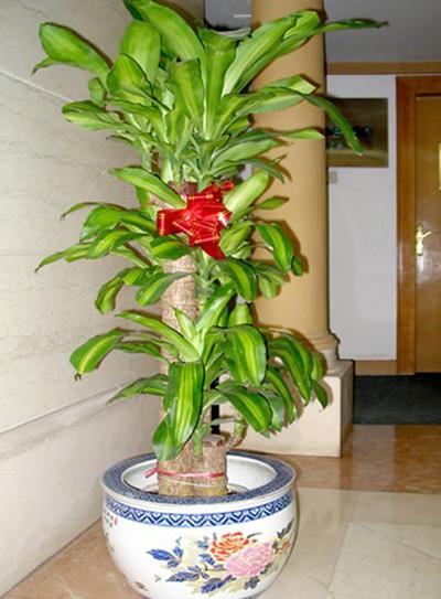 大型植物-巴西木.jpg